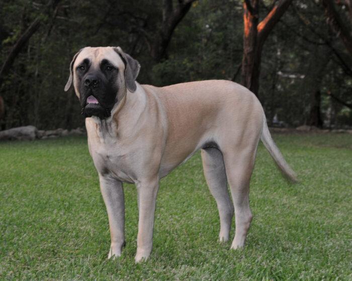 anglijskij-mastif-3