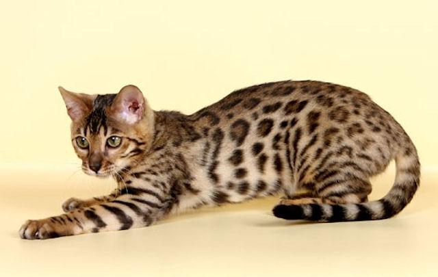 бенгальская леопардовая кошка