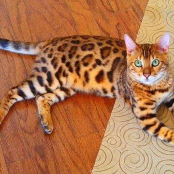 бенгальская леопардовая кошка описание породы с фото