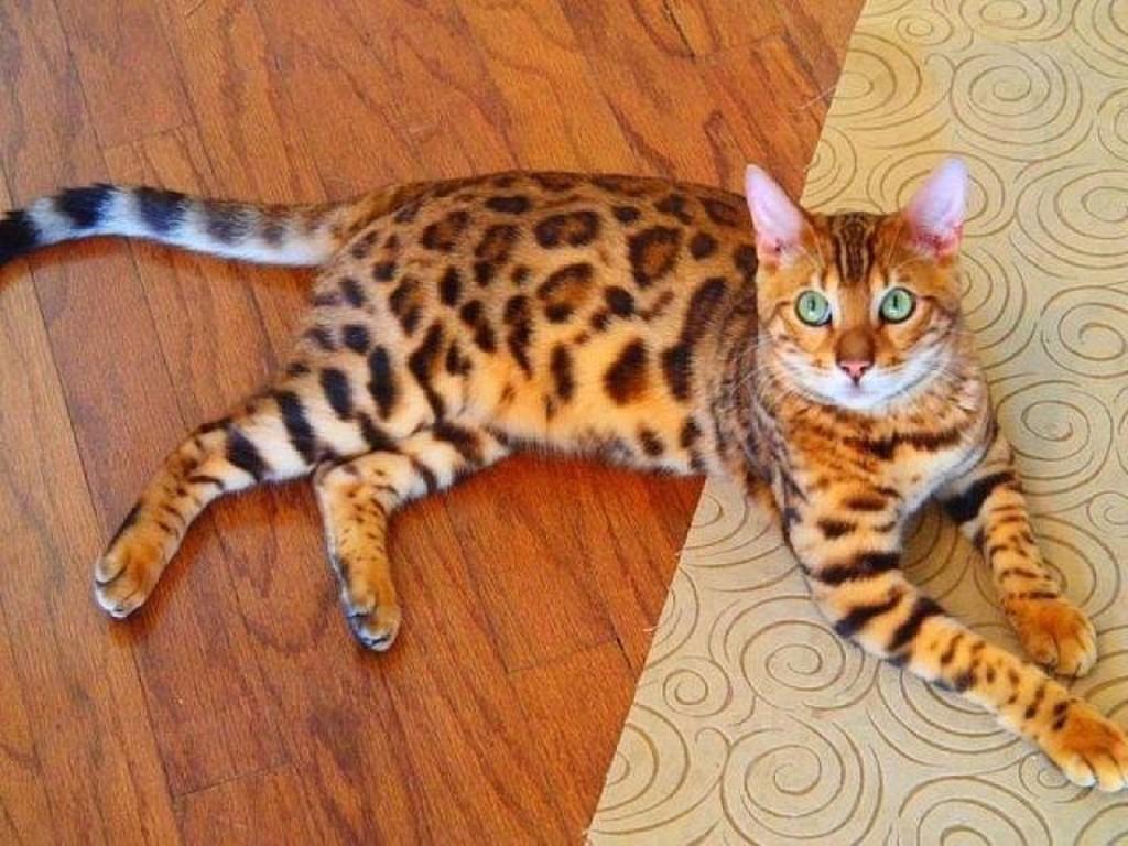 Порода кошки как леопард: фото, описание породы