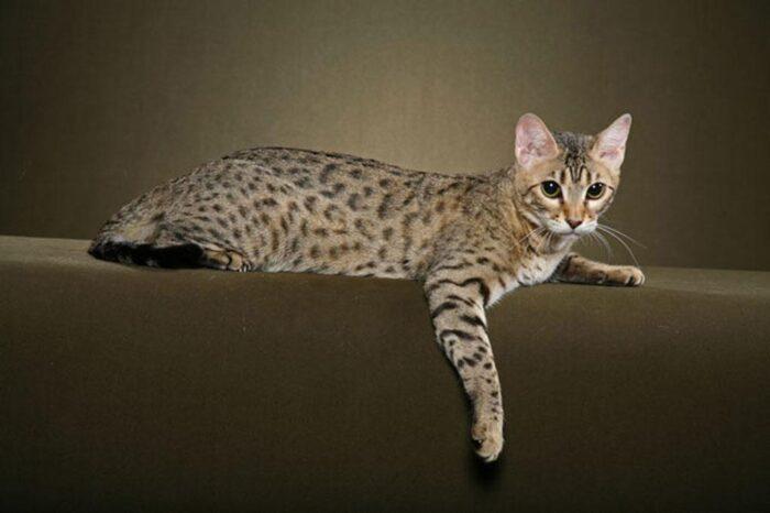 бенгальская леопардовая кошка уход и содержание