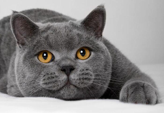 британская короткошерстная кошка телосложение