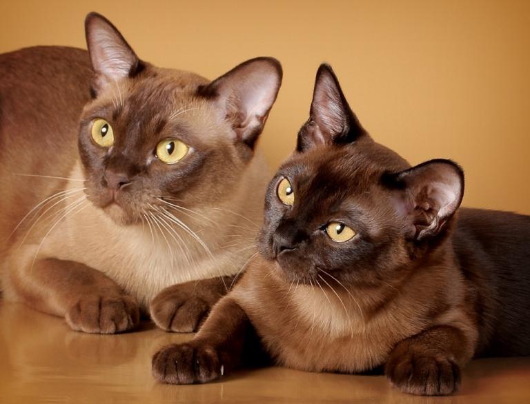 бурманская кошка окрасы названия и фото