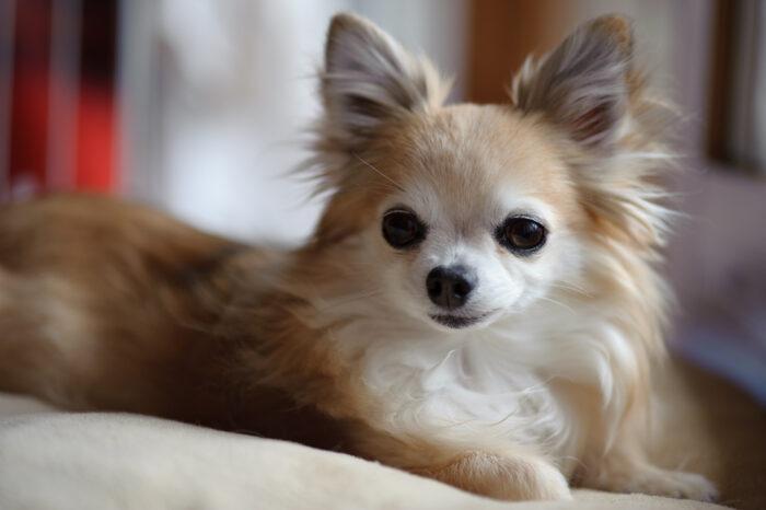порода собак чихуахуа фото