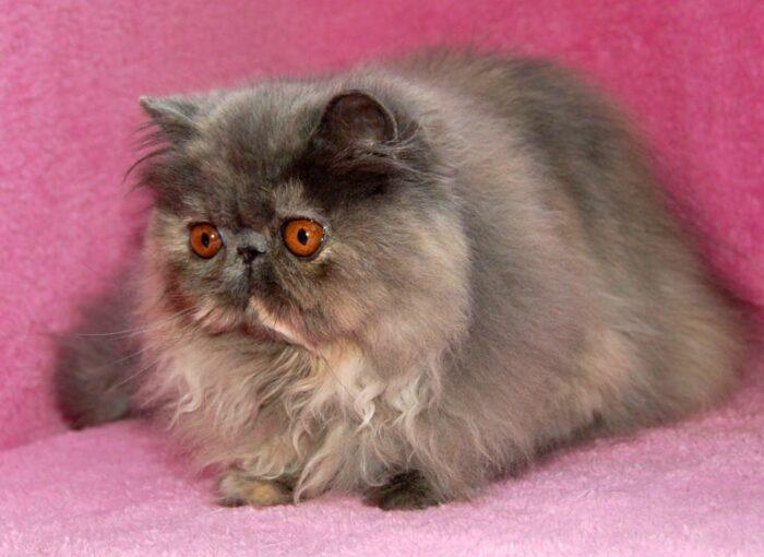 экзотическая длинношерстная кошка