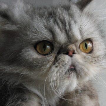 экзотическая длинношерстная кошка описание породы