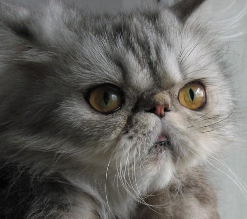 экзотическая длинношерстная кошка питание