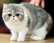 экзотическая короткошерстная кошка описание породы
