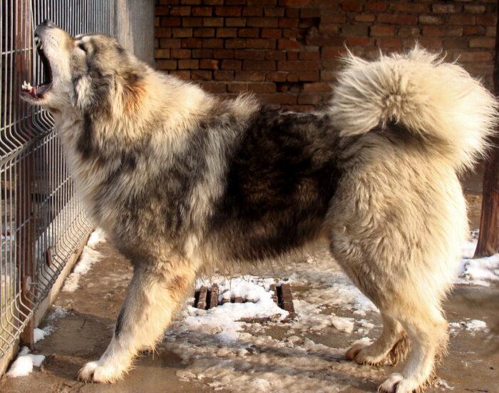 kavkazskaya-ovcharka-3