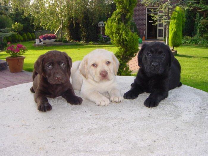 лабрадор фото собаки
