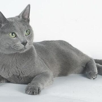 русская голубая кошка описание породы с фото