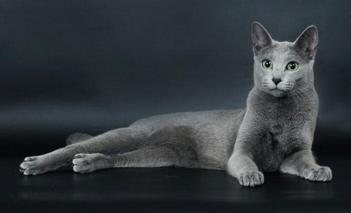русская голубая кошка питание и уход