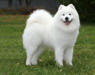 самоед собака описание и фото