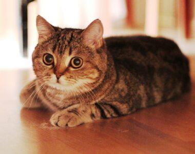шотландская прямоухая кошка описание породы с фото