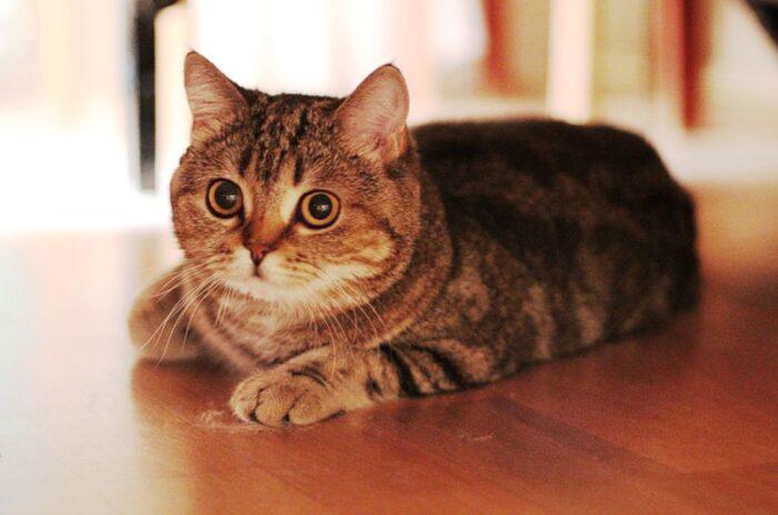 шотландская прямоухая кошка описание породы