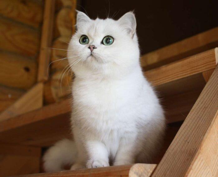 шотландская прямоухая кошка содержание и уход