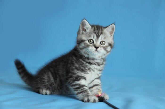 шотландская прямоухая кошка питание