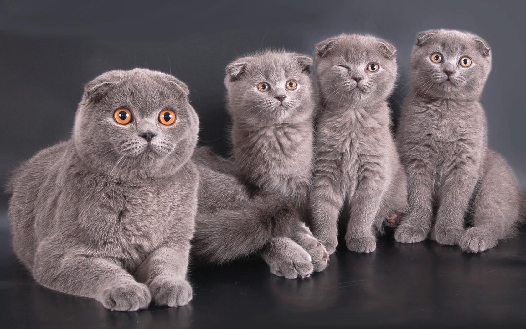 шотландская вислоухая кошка описание породы с фото