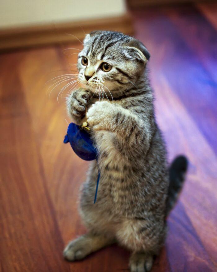 шотландская вислоухая кошка вид и телосложение