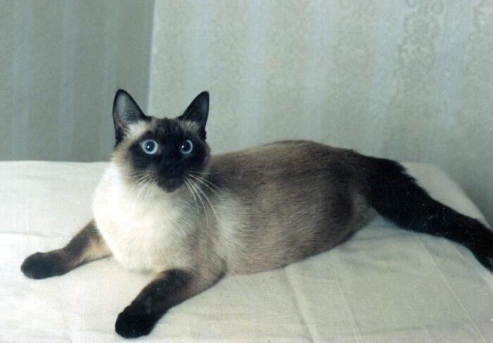 tajskaya-koshka-1