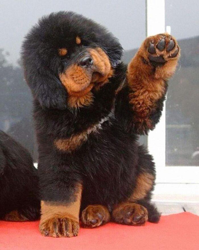 tibetskij-mastif-3
