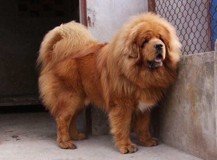 tibetskij-mastif-4