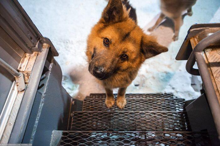 Перевозка крупных собак