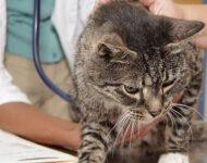 Микроплазмоз у кошек