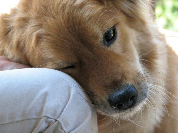 Как приручить взрослого пса