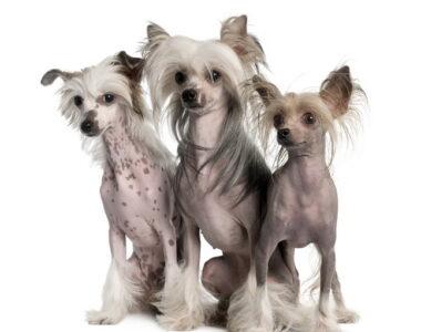 Лысые собаки