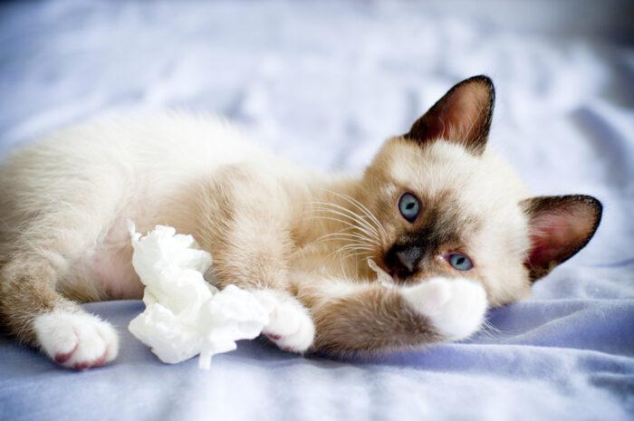 Котенок сноу шу