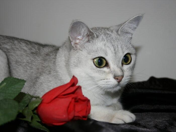 Бурмилла с розой