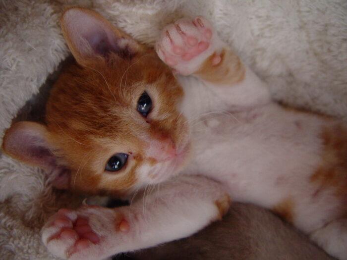 Котенок рекса