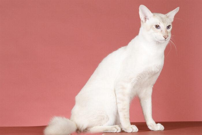 Яванский кот уход