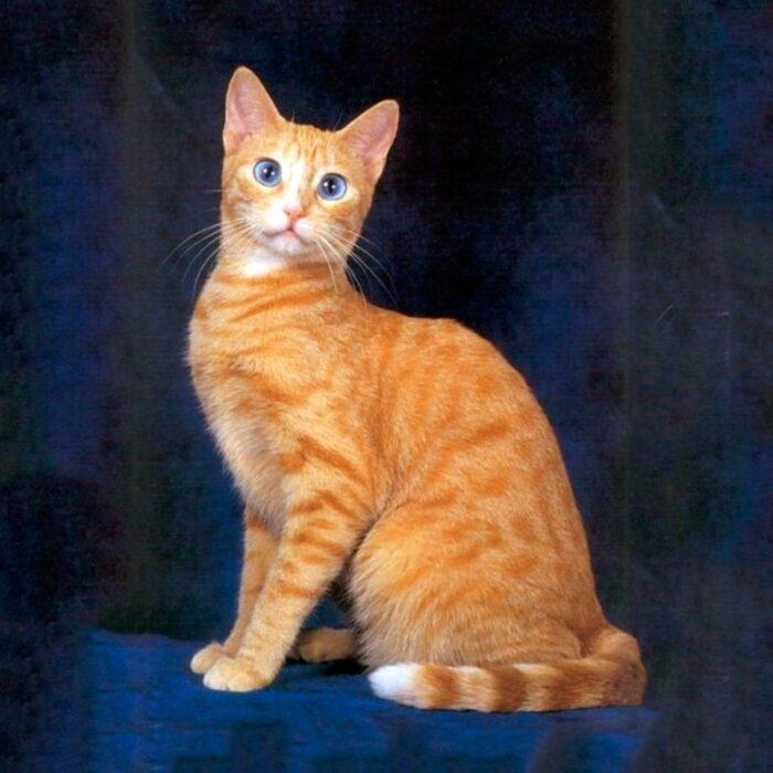 Синеглазые коты