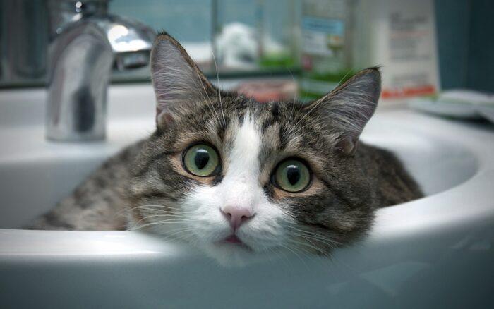 Характер эгейской кошки