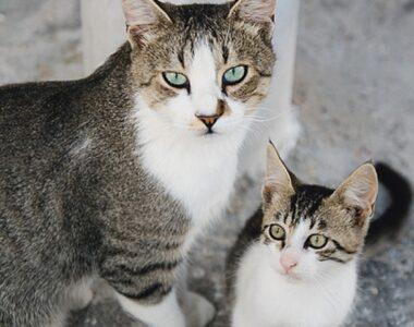 Описание эгейской кошки