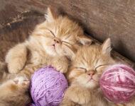 К чему снится котенок