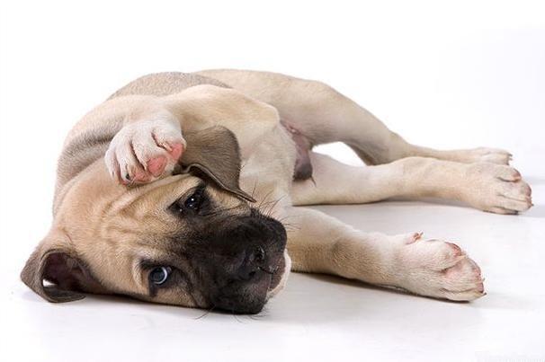 Лечение кашля у щенка