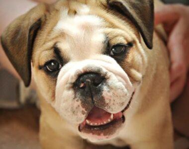 Смена зубов у щенков