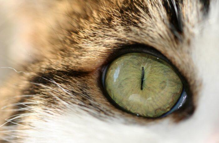 Лечение глаз у котов