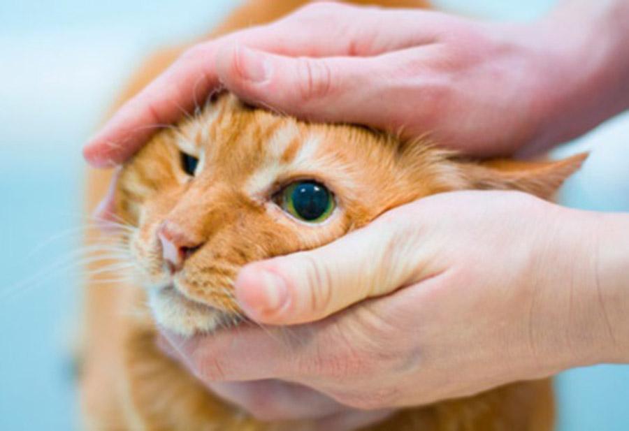 У кошки гноятся глаза что делать