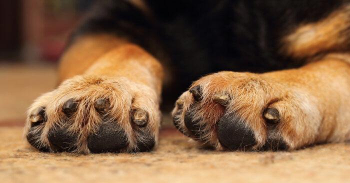 Почему собака грызет лапу