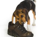 Как сделатьтак, чтобы щенок перестал грызть вещи