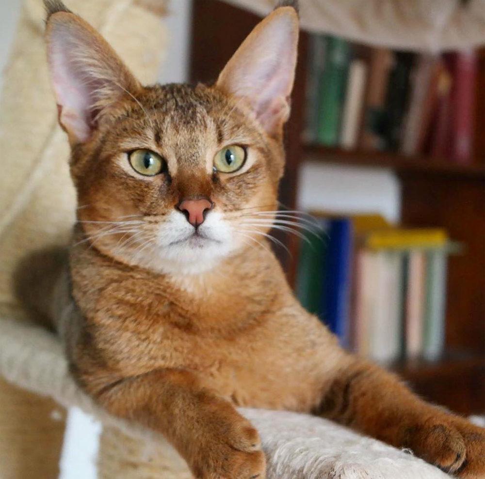 чаузи кошка описание