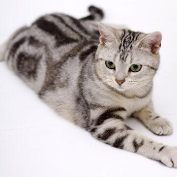 американская короткошерстная кошка описание породы с фото