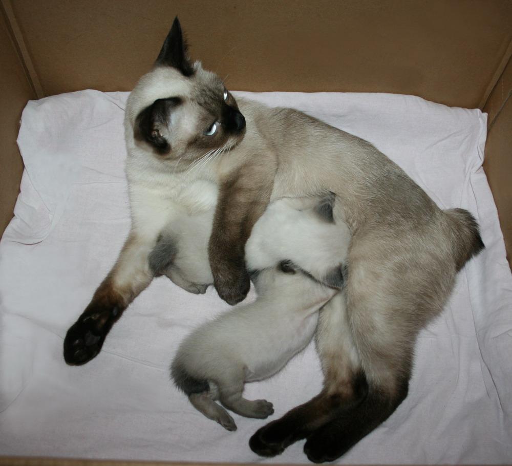 Описание и характер кошек породы меконгский бобтейл