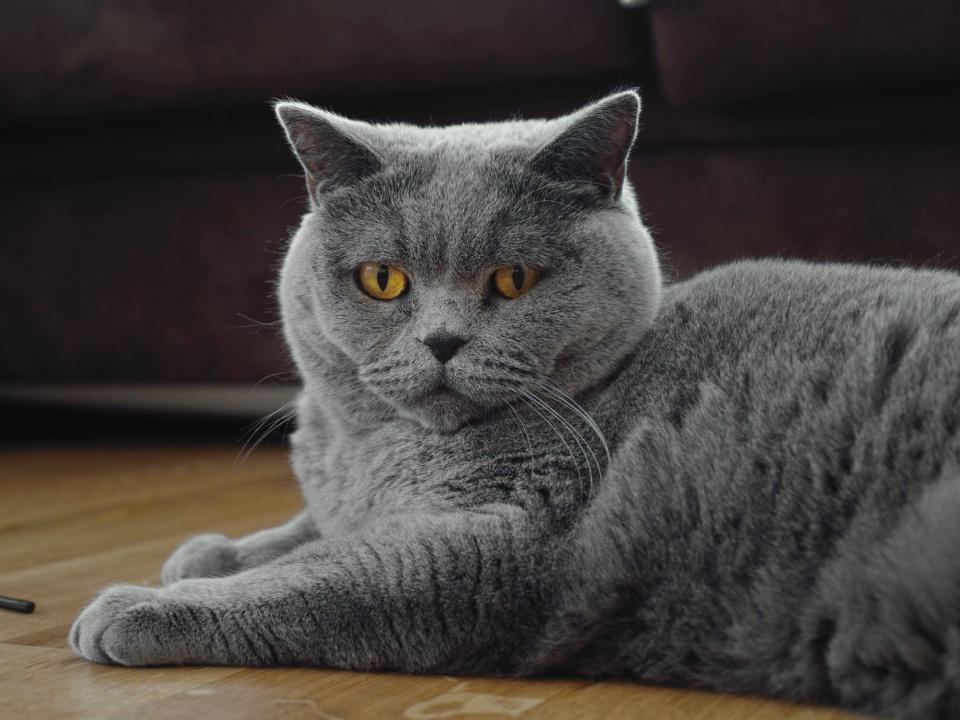 порода кошек шартрез фото и описание