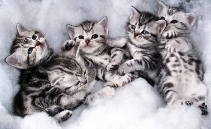 сколько стоит американская короткошерстная кошка