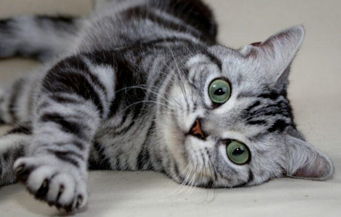 американский короткошерстный кот фото